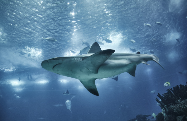 Discover pictures and videos of Sharks here!